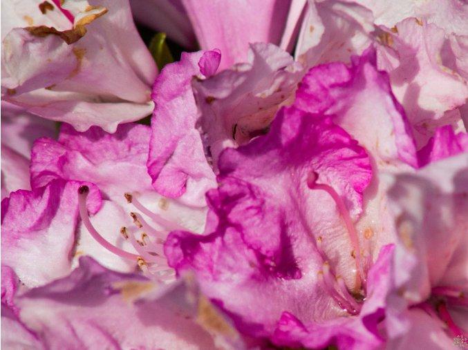 Rhododendron Blurettia