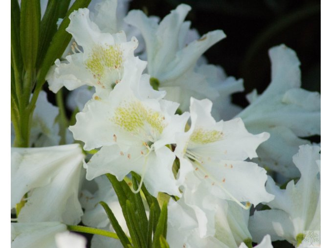 Rhododendron Cunningham's White