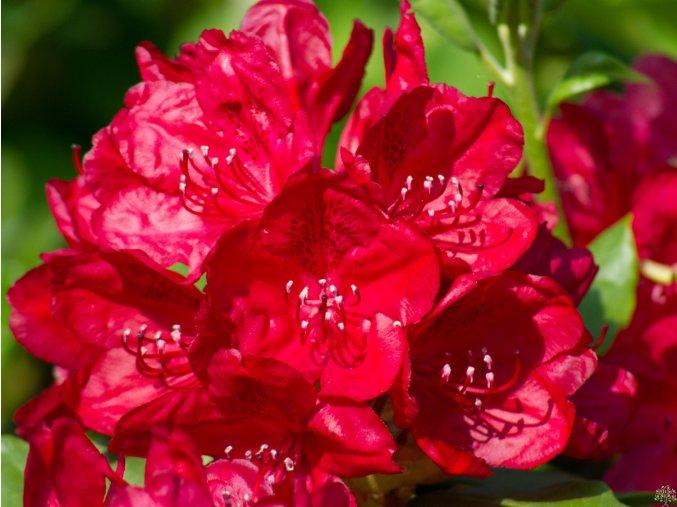 Rododendron ´Hachmann´s Feuerschein´