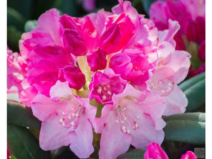 Rhododendron Kalinka2