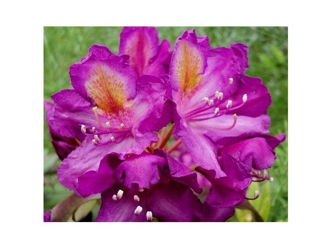 Rododendron ´Libretto´