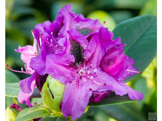 Rhododendron Peter Alan