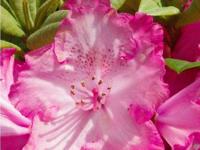 Rhododendron Sternzauber