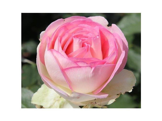 Růže ´Biedermeier Garden®´