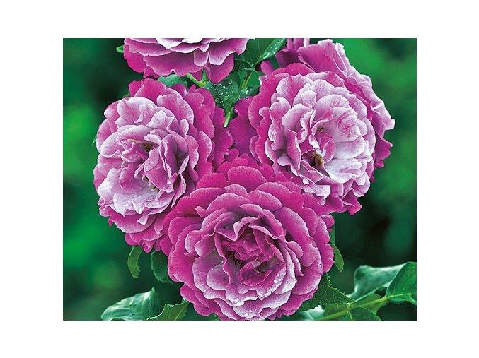 Růže ´Blue Eden®´
