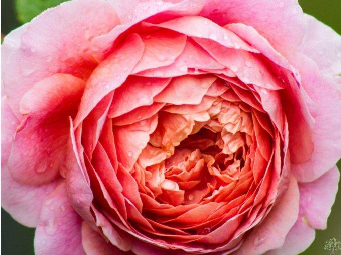 Růže ´Eisvogel´