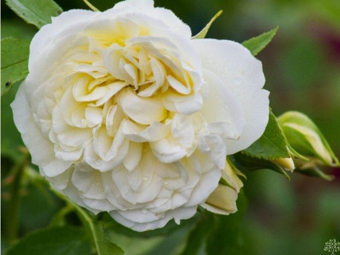 Růže ´Friedenslicht´