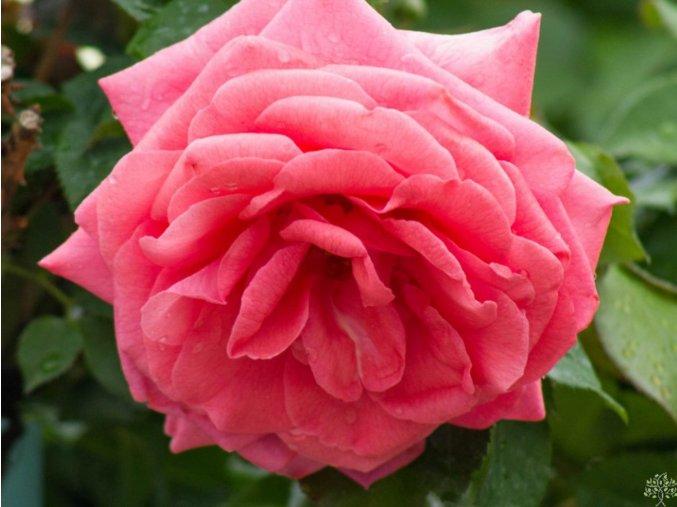 Růže ´Ghita Renaissance®´