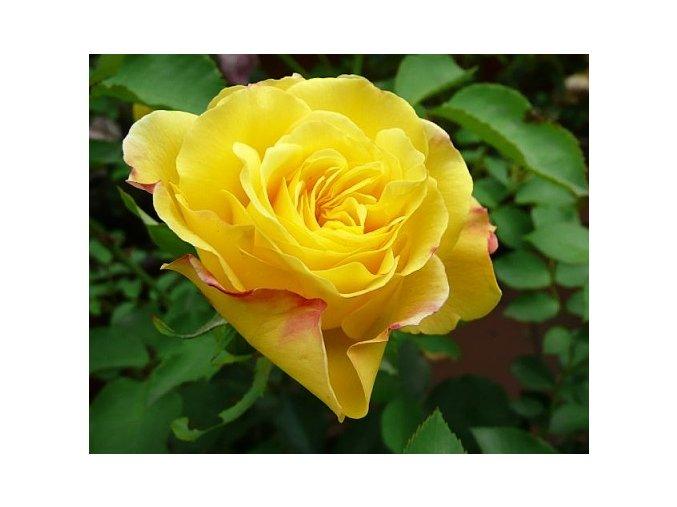 Růže ´Goldstern®´