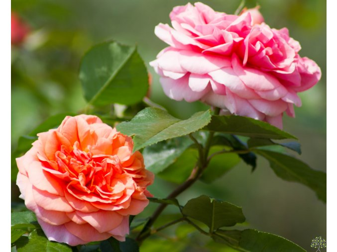 Rosa Chippendale (2)