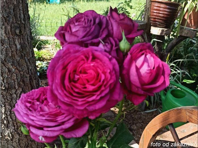 Růže ´Johann Wolfgang von Goethe´