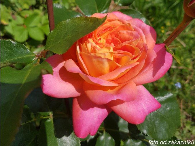 Růže ´Midsummer®´