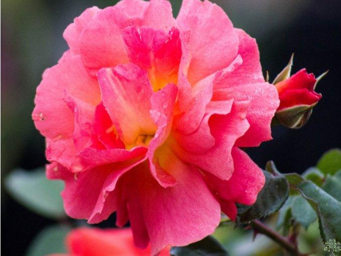 Růže ´Morning Sun´