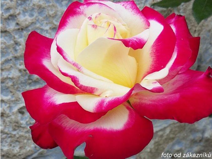 Růže ´Nostalgie®´
