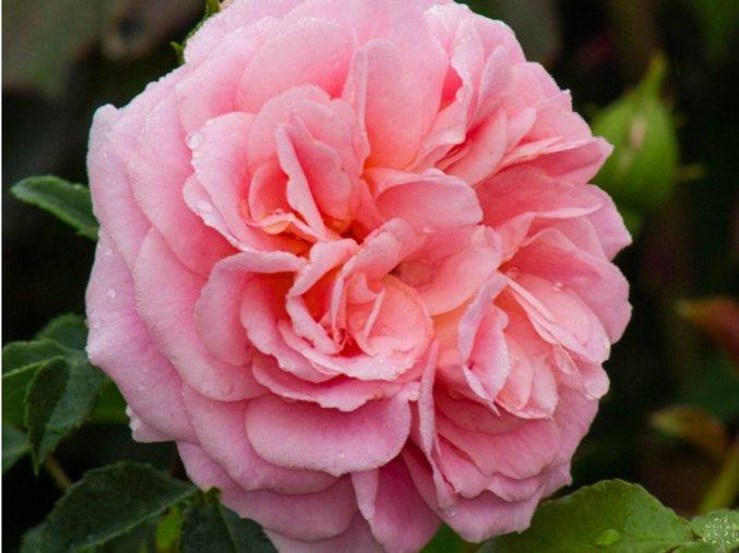 Růže ´Pirouette Courtyard®´