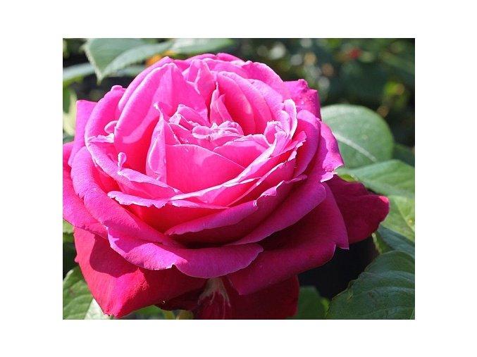 Růže ´Senteur Royale®´