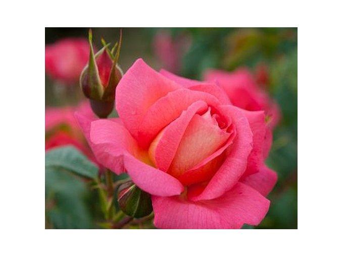 Růže ´Shogun´