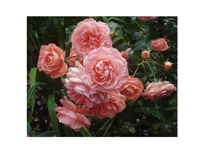 Růže ´Schackenborg Castle®´