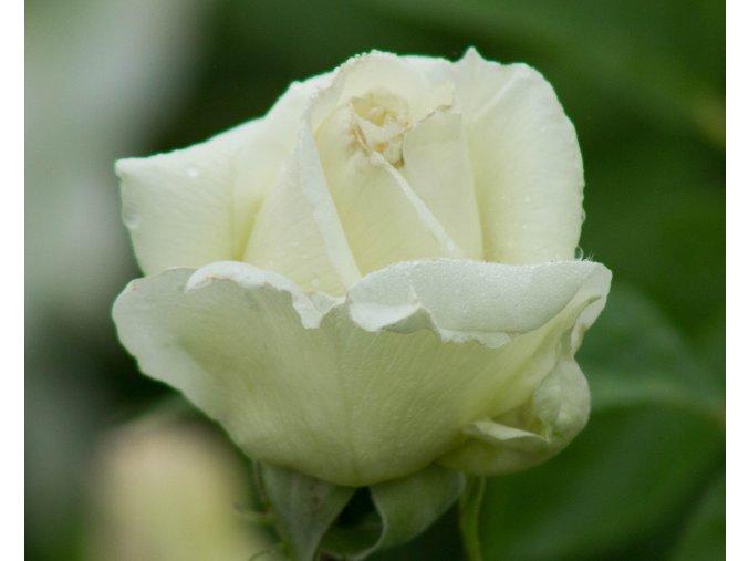 Růže ´Schneewalzer®´