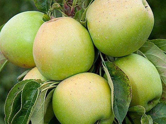 Jabloň sloupovitá ´Moonlight´