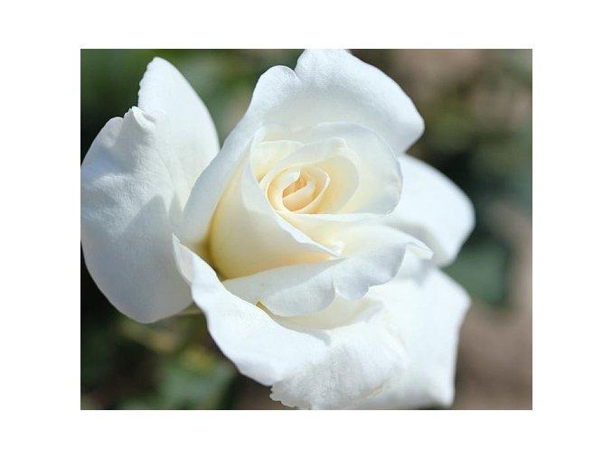 Stromková růže ´Virgo´