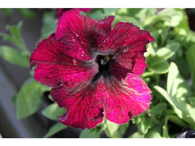 Petunia Famous 'Hot Pink'