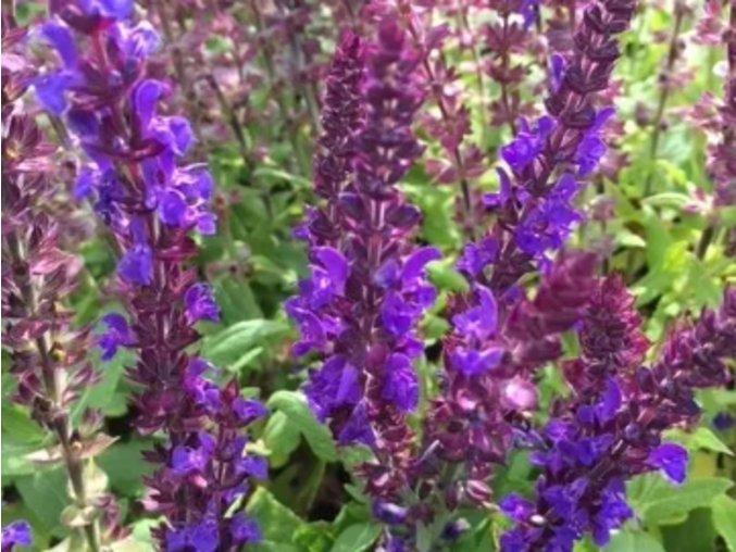 Šalvěj hajní ´Blaukönigin´ - Salvia nemorosa 'Blaukönigin'