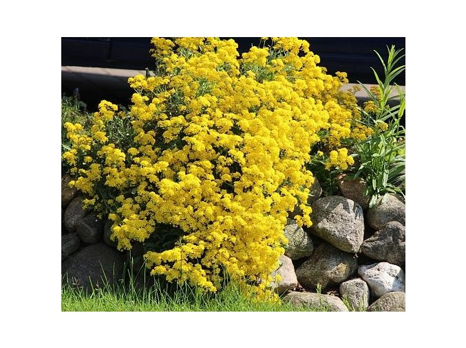 Tařice horská  ´Berggold´ - Alyssum (AURINIA) montanum 'Berggold'