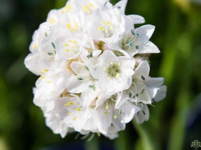 Trávnička pseudoarmeria ´Ballerina White´ - Armeria pseudoarmeria 'Ballerina White'