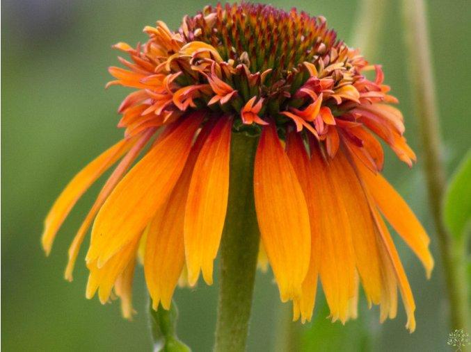 Třapatka ´Marmalade´ - Echinacea 'Marmalade'