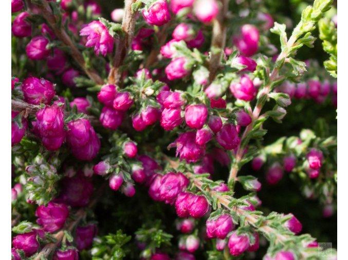 calluna vulgaris jana (2)