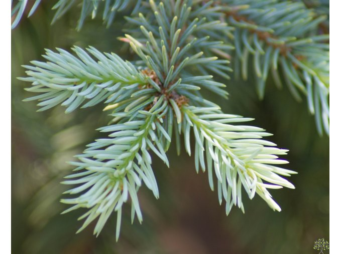 Picea pungens (2)