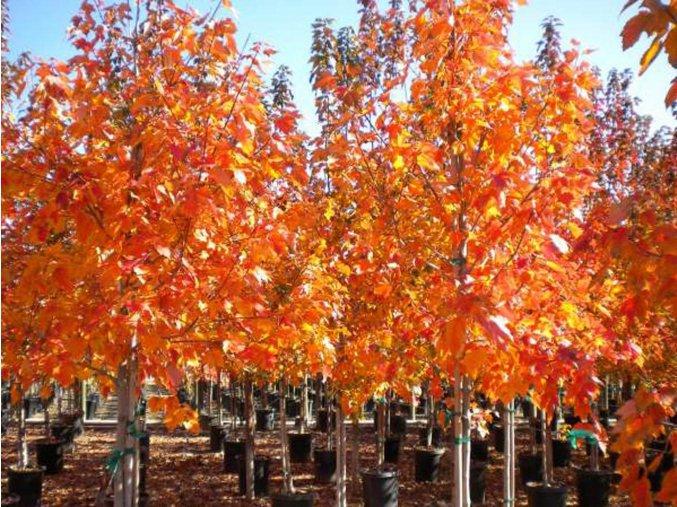 Javor červený 'October Glory'