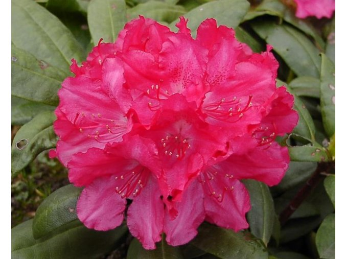 Rododendron 'Astrid'