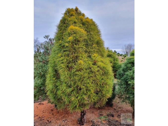 pinus sylvestris globosa viridis, 1800zl, 250cm, 25let (1)