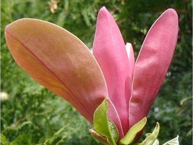 Magnolia First Love