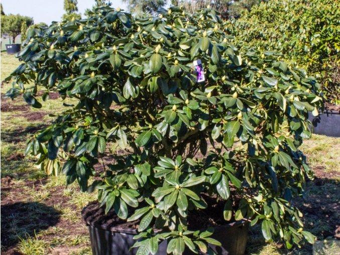 Rododendron ´Scintillation´