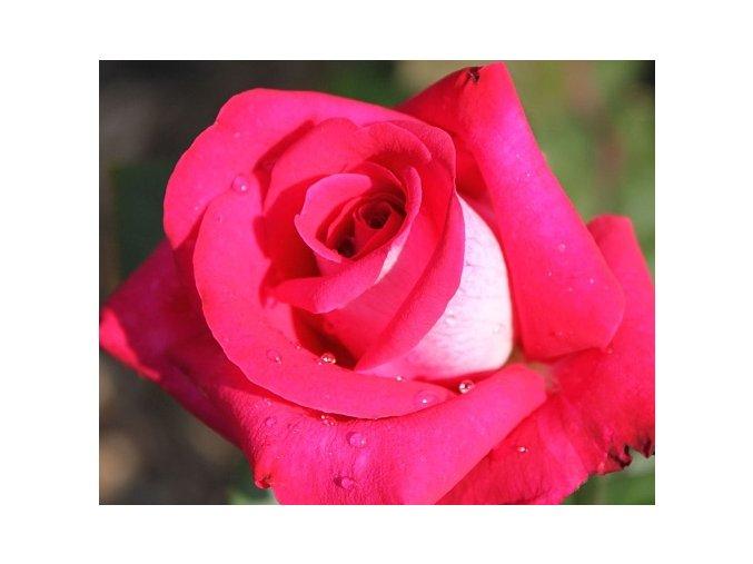 Stromková růže ´Acapella®´