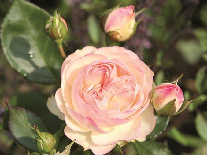 Stromková růže ´Pastella®´