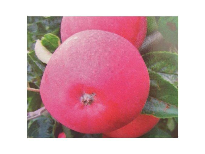 Jabloň ´Dima´