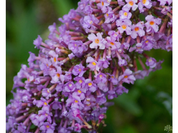 Buddleja davidii Butterfly Tower