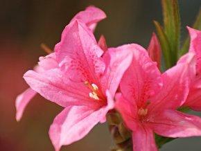 Azalea Rosy Lights