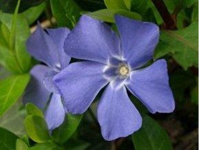 Barvínek menší - Vinca minor