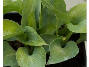 hosta big daddy (2)