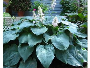 Bohyška ´Blue Angel´ - Hosta 'Blue Angel'