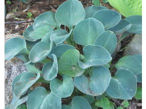 Bohyška ´Blue Mouse Ears´ - Hosta 'Blue Mouse Ears'