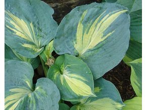 Bohyška ´Dream Queen´ - Hosta 'Dream Queen'