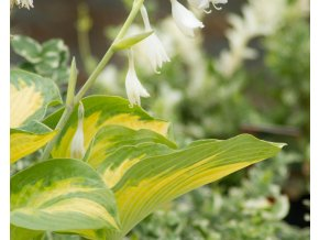 hosta george smith (2)