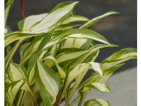 hosta cherry berry (2)