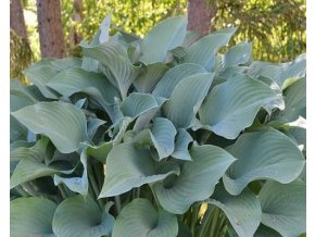 Bohyška ´Krossa Regal´ - Hosta 'Krossa Regal'
